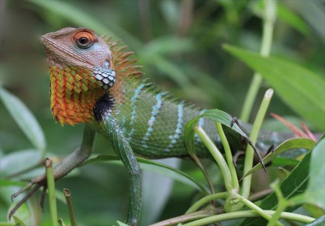 ベトナムで色鮮やかな新種トカゲ「カロテス・バカエ」が発見される