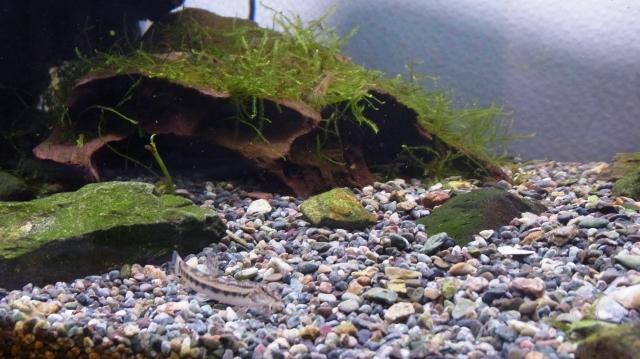 90cmイシガメ水槽のウィローモス