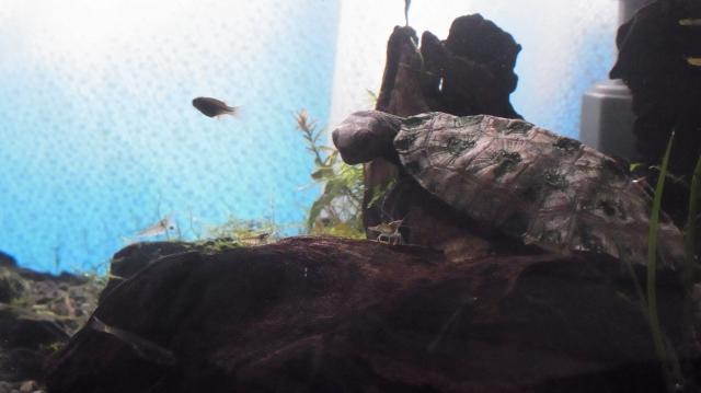 ミナミヌマエビを見つめるニホンイシガメ