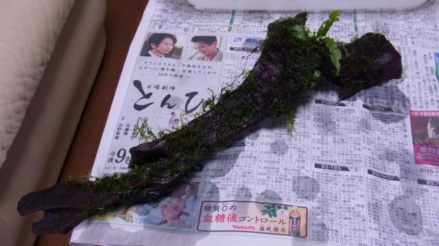 ミクロソリウム・プテロプスとウィローモスを流木に活着させる