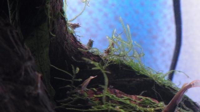 カメ水槽の住人・ミナミヌマエビ