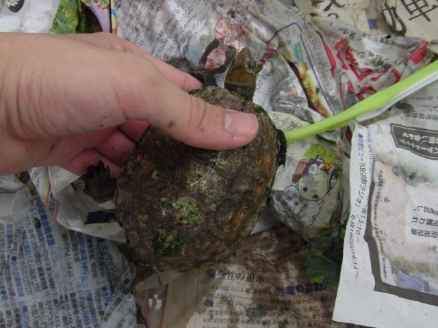 キレイな甲羅にするために甲羅の脱皮を補助 歯ブラシで磨く