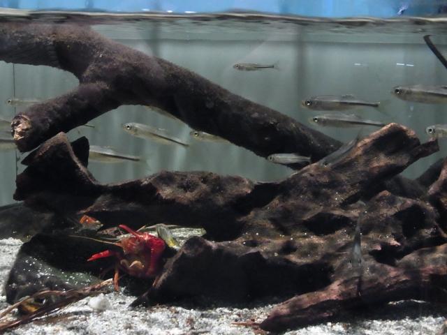 アメリカザリガニと川魚の混泳水槽