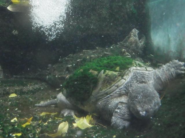 コケがふさふさのワニガメ