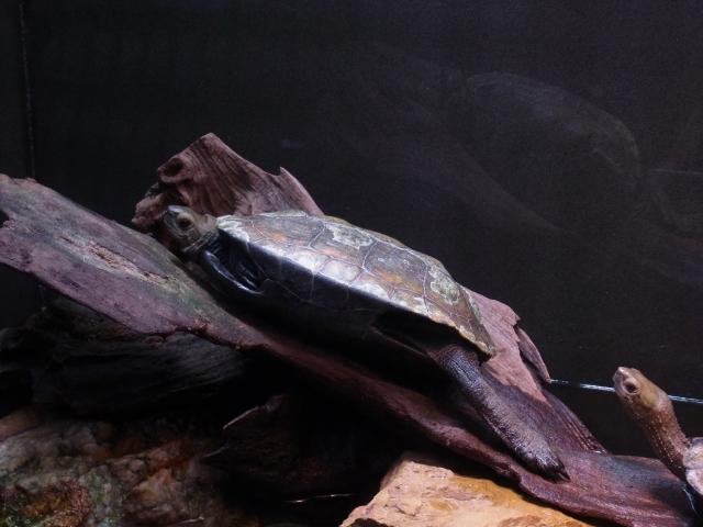 バスキング中のニホンイシガメ雌