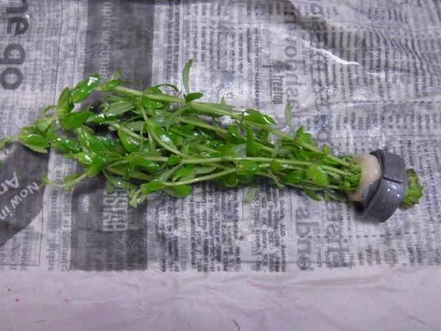AQUA SHOP wasabiで購入したグリーンロタラ