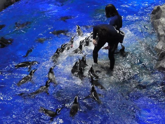 ペンギンの餌やりタイム