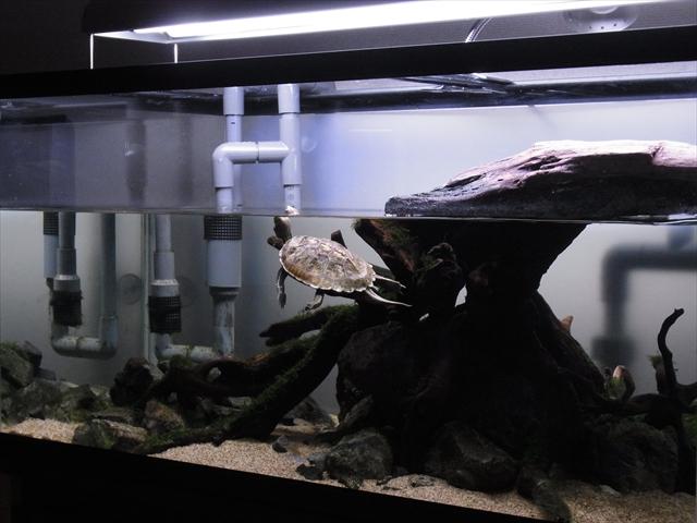 広々とした水槽を泳ぎまわるニホンイシガメ