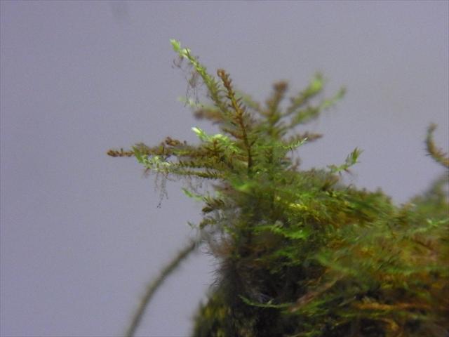 新しく明るい色の新芽を伸ばすサムライモス