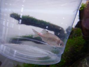 観賞魚のエロモナス感染症の原因・症状と効果的な治療法