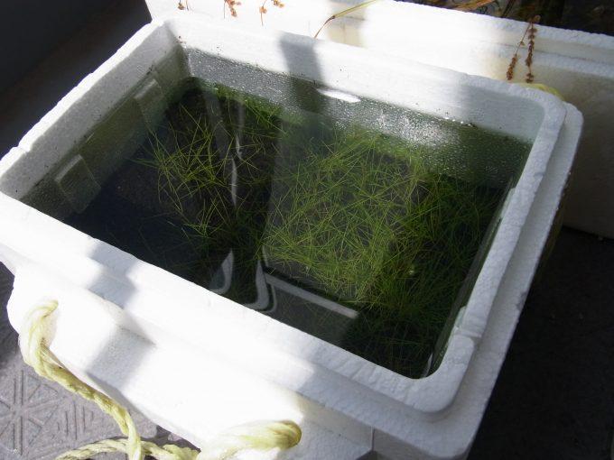 ショートヘアーグラスの水上栽培容器が水浸し