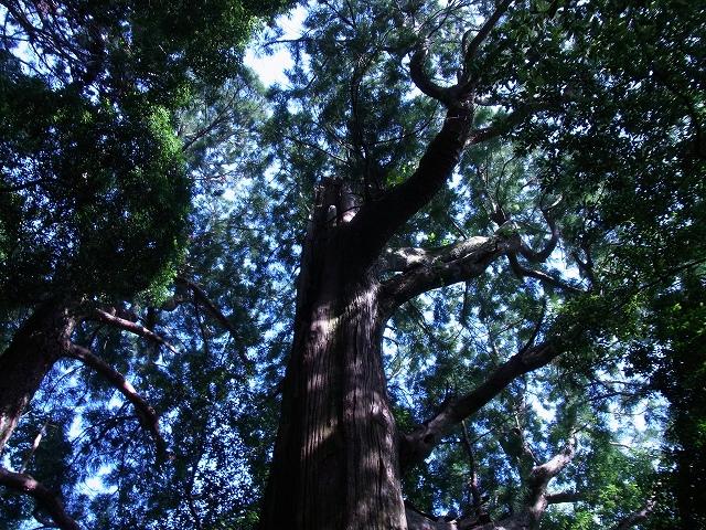 継桜王子の巨木