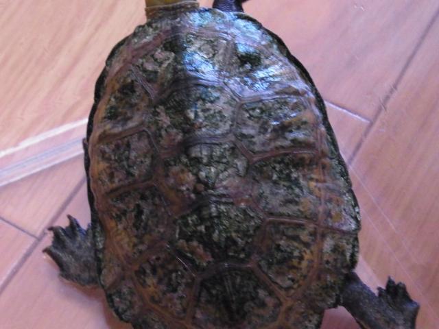 汚れた甲羅もピカピカに!亀の甲羅の苔や藻を落とす方法