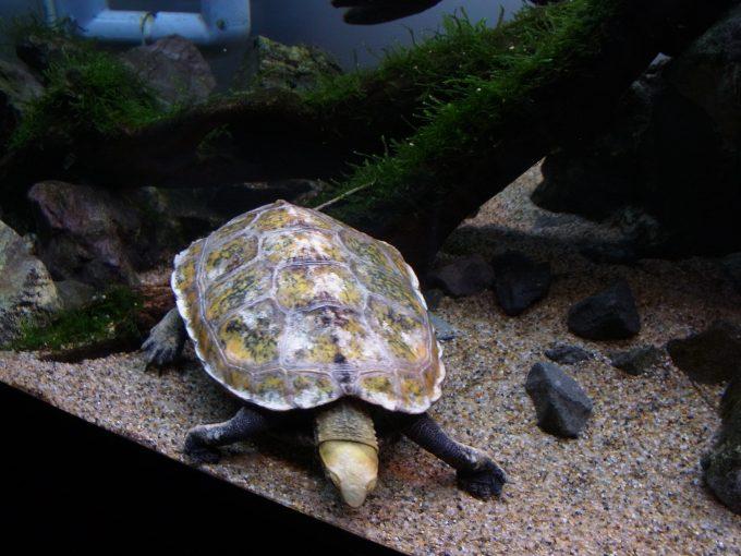 写真撮影で気付く亀水槽タンクメイトの生き残るための知恵
