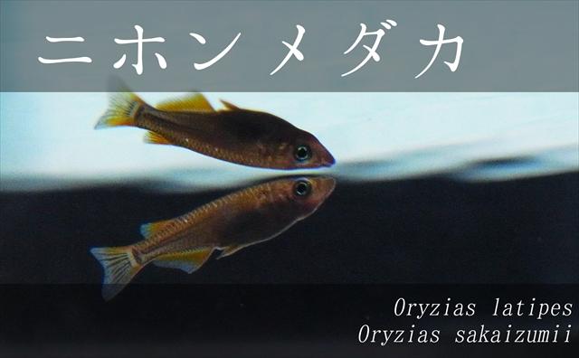 メダカ(ニホンメダカ)