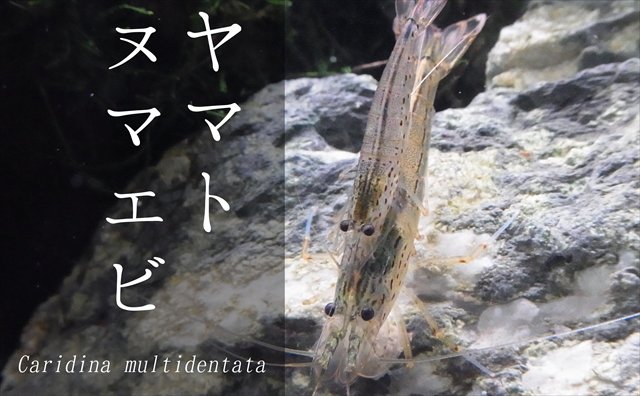ヤマトヌマエビ
