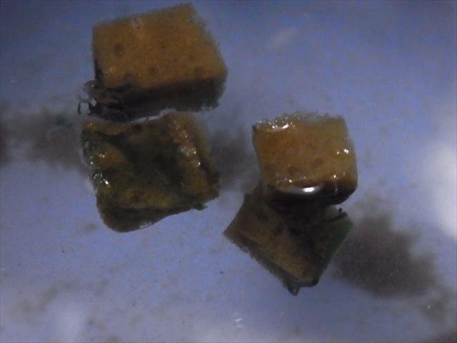 藍藻がこびりついたスポンジ濾材
