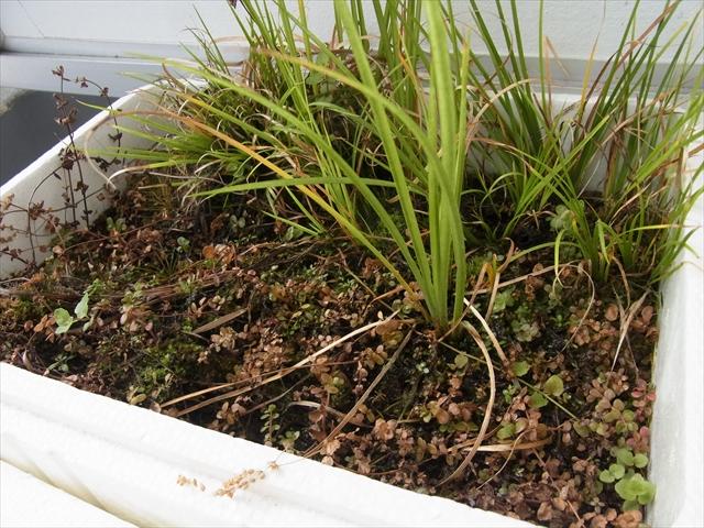 ロタラ類の水上葉栽培容器