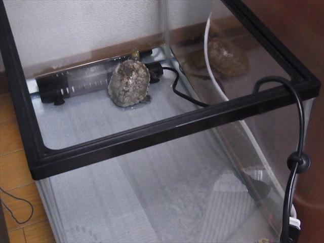 ヒーターを設置した隔離水槽
