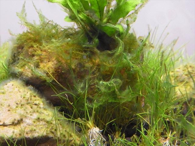 オキシドールは効果アリ!でもやっぱり藍藻が収まらない…