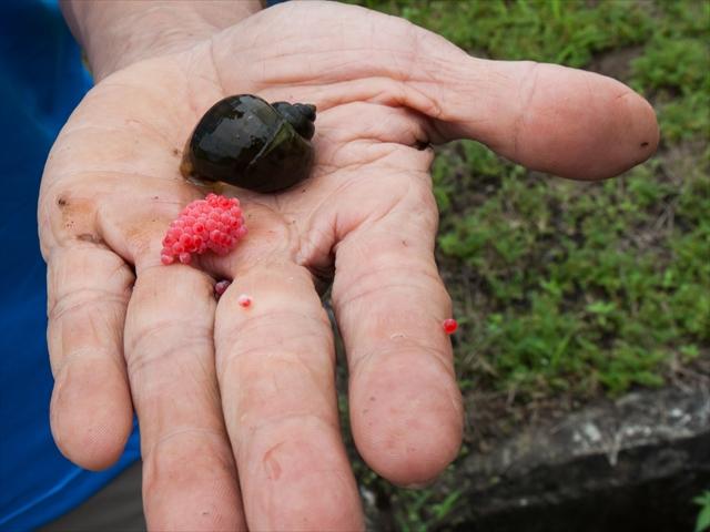 taitung-changbin-aborigines-amis-farmland-snail-eggs-ef-24-70mm-f4l-is-5d2-cr-5224