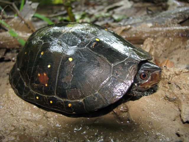 Spotted Turtle (3)