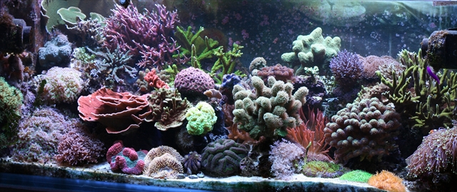 サンゴ水槽 リーフアクアリウム コーラルアクアリウム