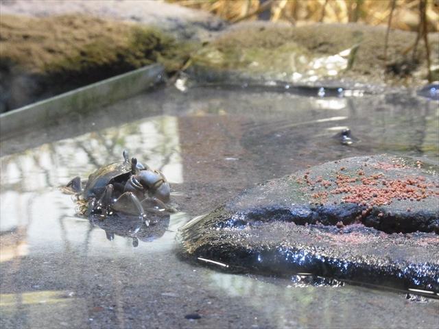 干潟水槽のカニ