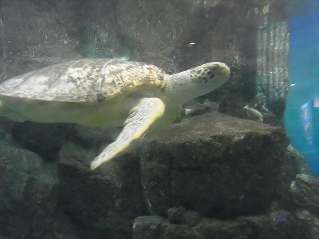 ウミガメ水槽を泳ぐウミガメ