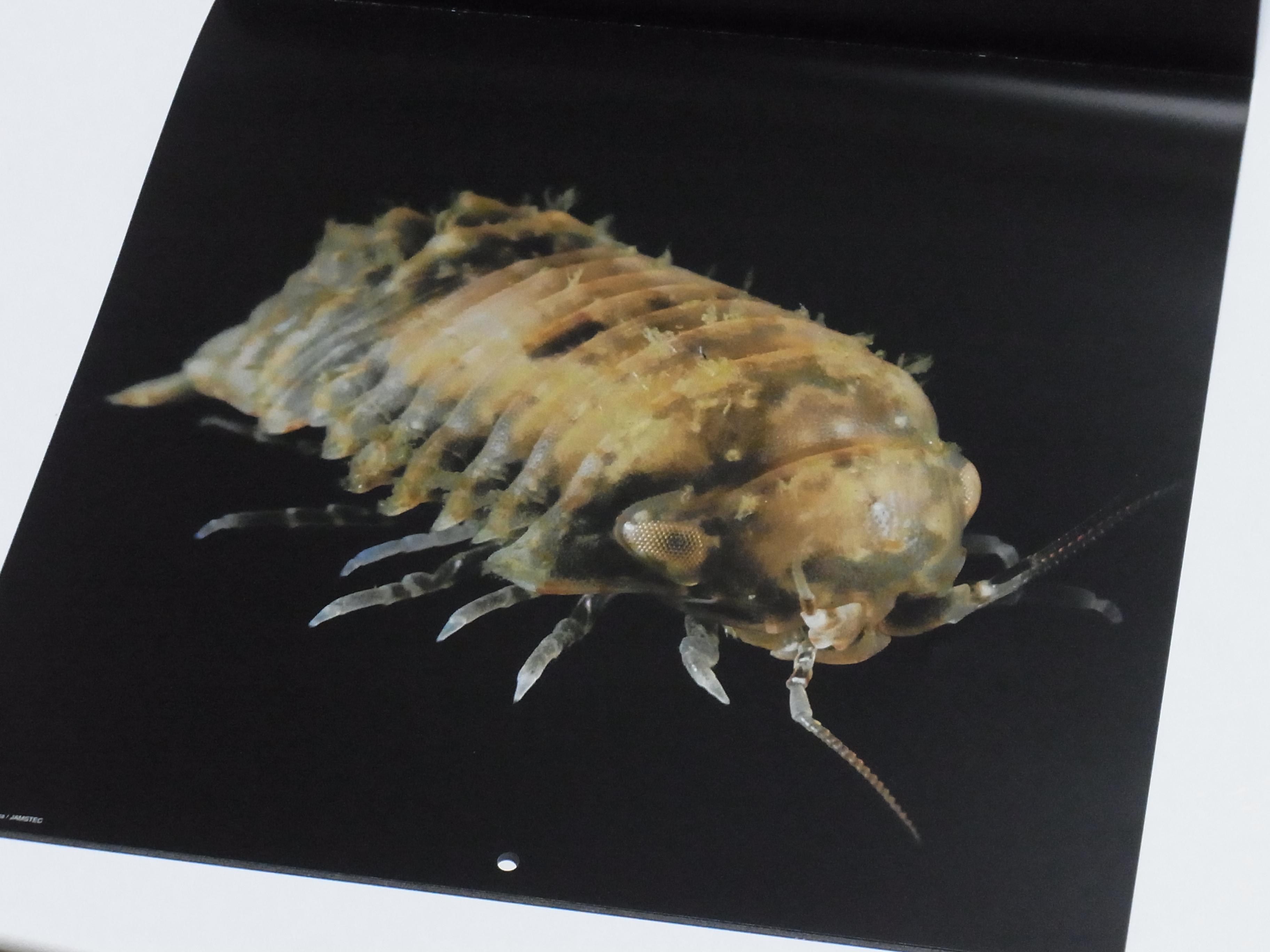 カレンダー「深海生物図鑑」 2017 写真の例 ニホンコツブムシ