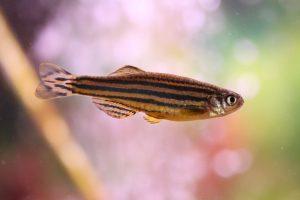 ゼブラ・ダニオの飼育・繁殖・混泳-美しい縞模様の活発な熱帯魚