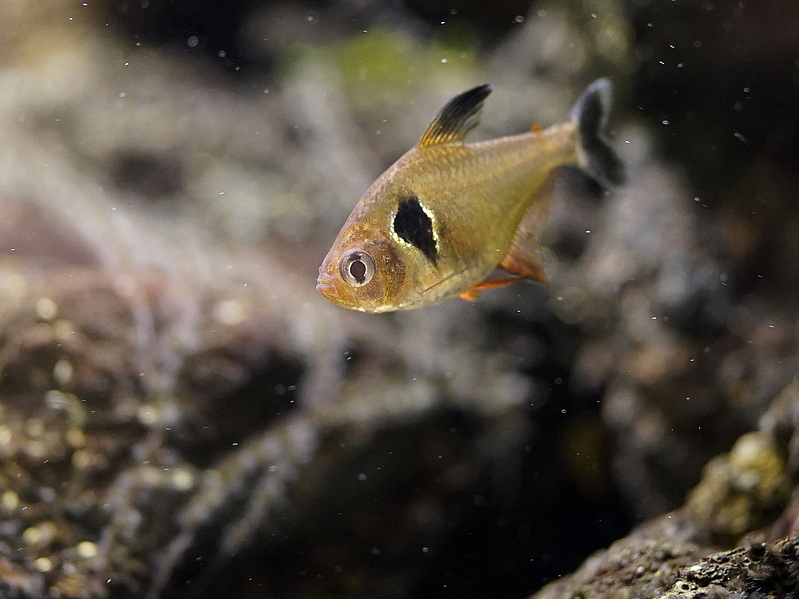 レッドファントムテトラの飼育・繁殖方法!鮮やかな「赤」に惹かれる熱帯魚