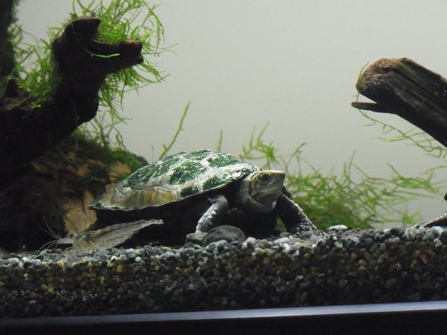 亀飼育をより楽しく!カメと魚やエビの混泳法・種類別データ